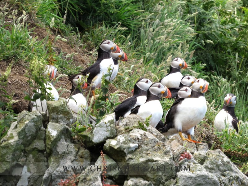 group of puffin