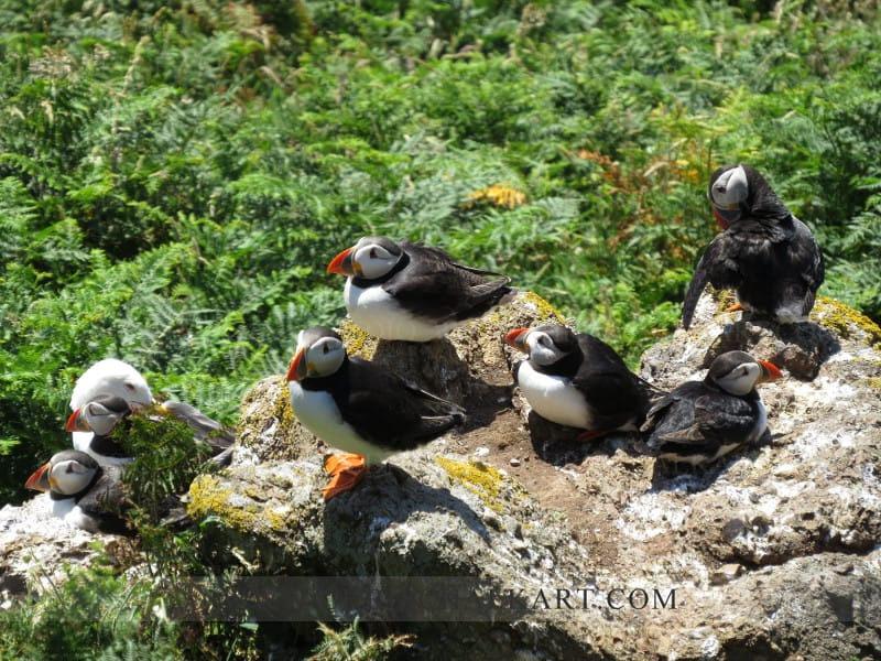 Skomer puffin on the rocks