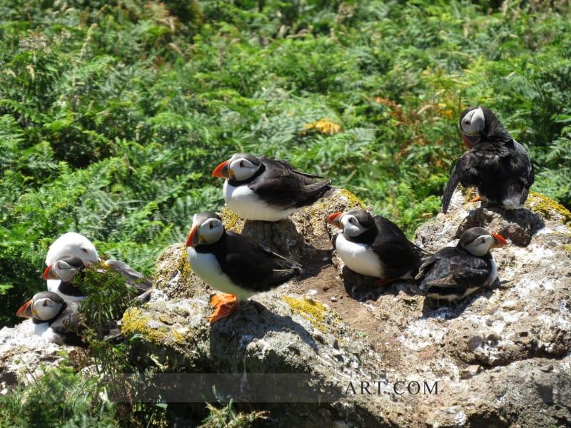 Skomer puffin on the rocks