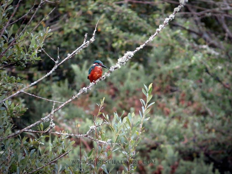 Kingfisher UK