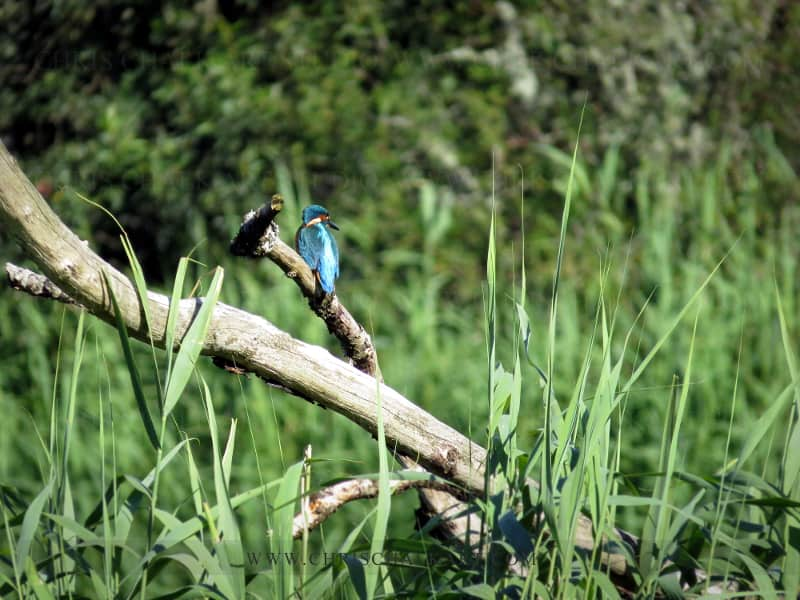Kingfisher blue colour