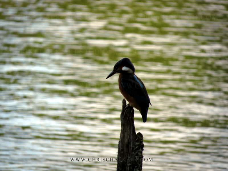Kingfisher perched on a post