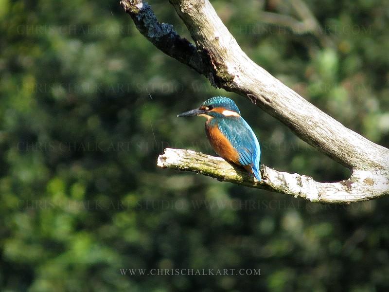 UK Kingfisher photograph