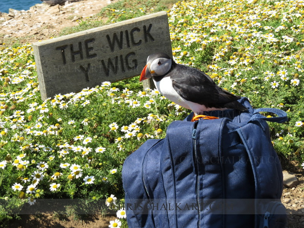 puffin sitting on bag at The Wick Skomer island